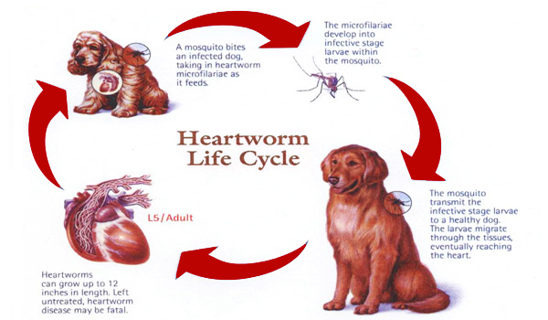heartworms and dogs relationship