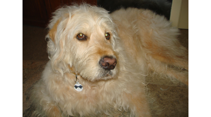 Bocker the Labradoodle