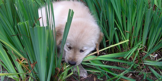 Why Do Some Dogs Like To Eat Grass