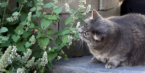 What is catnip effects
