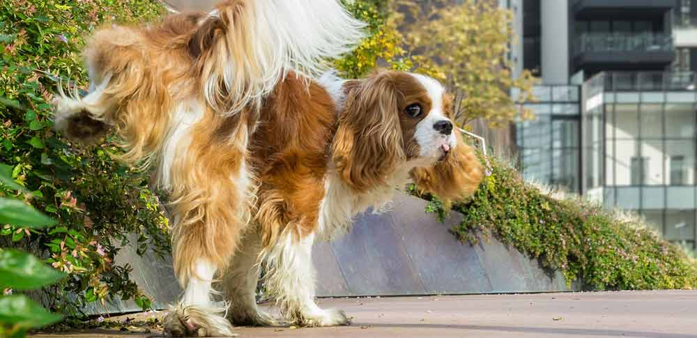 What Does Your Dog's Peeing Position Mean?