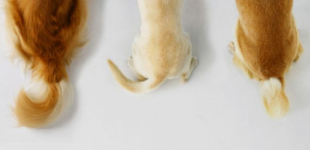 What is Your Dog's Tail Wag Telling You?