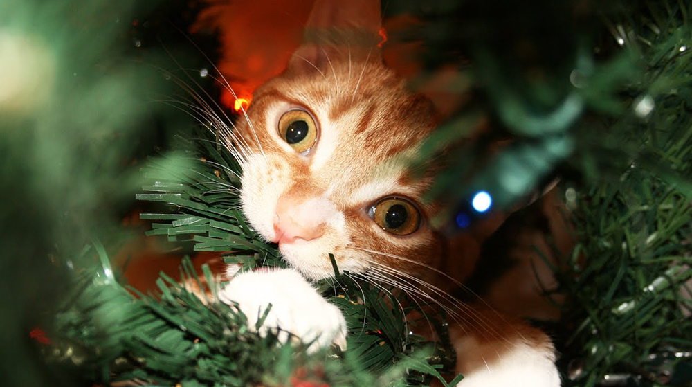 Cats and Christmas Trees: Why?