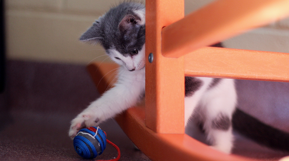 Gray and White Cat playing with toy