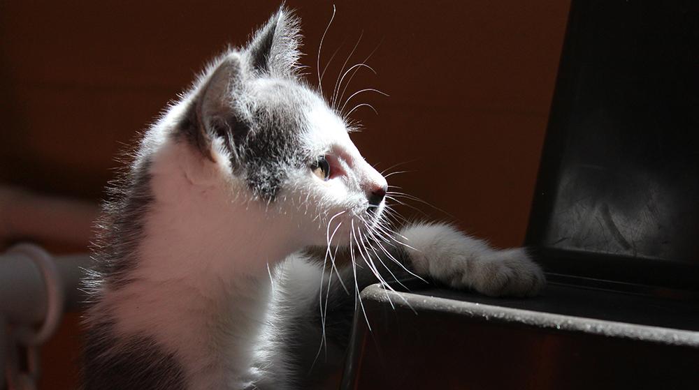 Gray and White kitten inthe sunlight